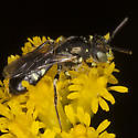IMG_9963 - Perdita octomaculata - male
