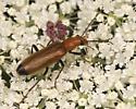 Wharf Beetle - Nacerdes melanura