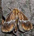Yellow-shouldered Slug Moth - Hodges#4665 (Lithacodes fasciola) - Lithacodes fasciola
