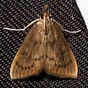 Mint Root Borer - Hodges #4950 - Fumibotys fumalis