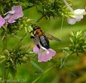 Large Bee - Eastern Carpenter Bee? - Xylocopa virginica