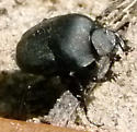 Canthon sp. - Canthon