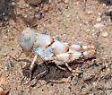 Rufous Grasshopper nymph - Heliaula rufa