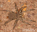 Spider with spiderlings - female