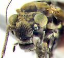 Psocidae, frontal - Trichadenotecnum alexanderae