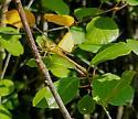 Meadowhawk? - Sympetrum vicinum