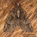 Ersephila grandipennis? - Ersephila grandipennis