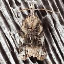 Fruit-Tree Leafroller Moth  - Platynota exasperatana