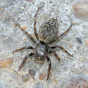 Salticidae; mystery jumper - Hakka himeshimensis