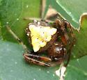 Arrowhead Spider - Verrucosa arenata - female