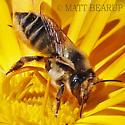 Large Leafcutter - Megachile - female