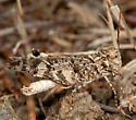 California Rose-winged Grasshopper - Dissosteira pictipennis - male