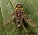 Aphoebantus sp.? - Aphoebantus - male