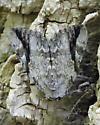 Sad Underwing Moth - Hodges #8793 - Catocala maestosa