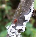 Red Mite - Allothrombium