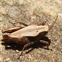 Tetrigid - Tettigidea - female