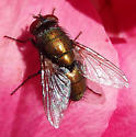 Coppery fly - Lucilia