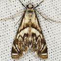 Scrollwork Pyralid Moth - Neocataclysta magnificalis