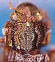 Helophorus auricollis (Eschscholtz) - Helophorus auricollis
