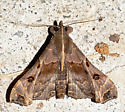 Faint-spotted Palthis - Palthis asopialis