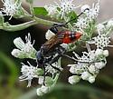 Hymenoptera - Prionyx