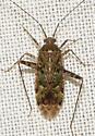 bug061117 - Phytocoris
