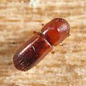 Scolytin - Xyleborus affinis