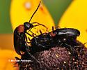 Podabrus sp. - Nemognatha nemorensis - male - female