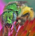 Green metallic bee - Agapostemon virescens