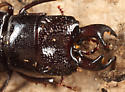 Stag Beetle - Ceruchus piceus - male