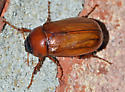 they look all the same to me - Phyllophaga