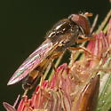 Syrphid on Spartina pectinata - Platycheirus - male