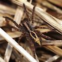 Wolf Spider - Schizocosa