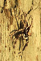 Jumping Spider on Pier - Menemerus bivittatus
