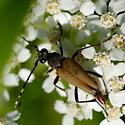 Banded antenna longhorn - Brachyleptura rubrica