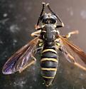 wasp mimc hover fly - Temnostoma balyras - female