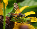 Wasp with grasshopper - Tachytes guatemalensis - female
