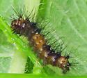 Giant Leopard Moth caterpillar - Hypercompe scribonia