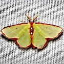moth - Synchlora cupedinaria