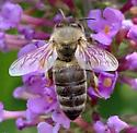 Honey Bee? - Apis mellifera