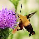Moth - Sphingidae - Which Species? - Hemaris thysbe