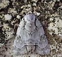 moth - Acronicta lepetita