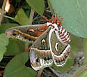 newly emerged Cecropia Moth - Hyalophora cecropia