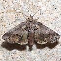 Paectes pygmaea - female