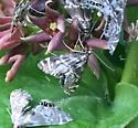 Petrophila sp. - Petrophila canadensis