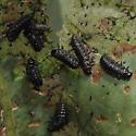 Green Dock Beetle - Gastrophysa cyanea