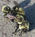 Pile of bumblebees - Bombus impatiens - male - female