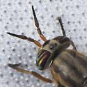 Chrysops montanus? - Chrysops - female