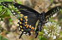 Black butterfly - Papilio polyxenes asterius? - Papilio polyxenes - female