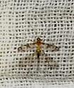 Tiny Fly with long legs - Macrocera